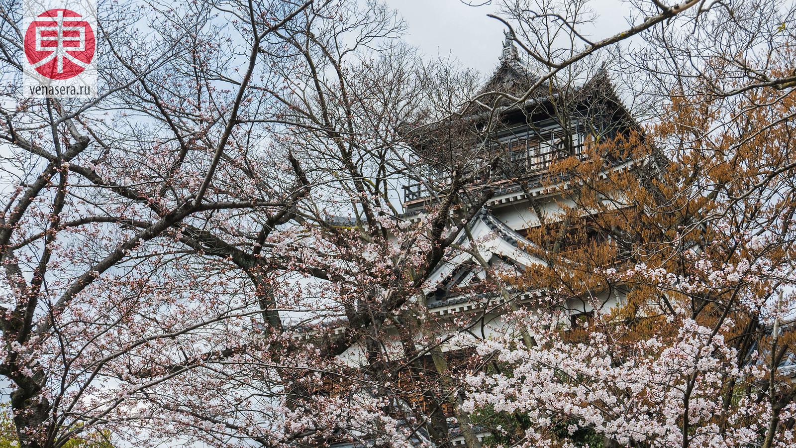 Сакура в Замке Хиросима, Япония.