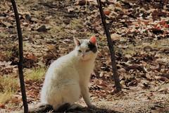 Gato Miau
