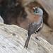Dark-eyed Junco (Junco hyemalis); Santa Fe National ForestNational Forest, Thompson Ridge [Lou Feltz]