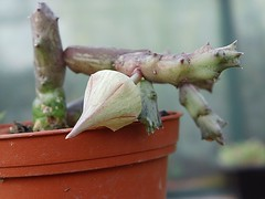Orbeanthus hardyi (R.A. Dyer) L.C. Leach