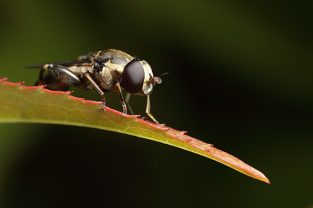 Hoverfly Syritta pipiens #2