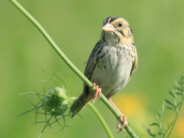 Henslow's Sparrow 06-20170727