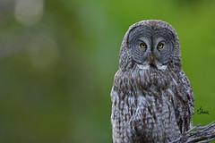 Great Gray Owl - 1277b+