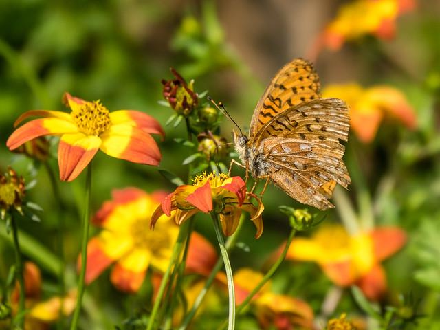 ragged Fritillary butterfly