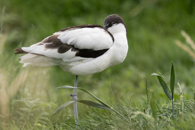 Pied avocet (Recurvirostra avosetta) standing with head tucked