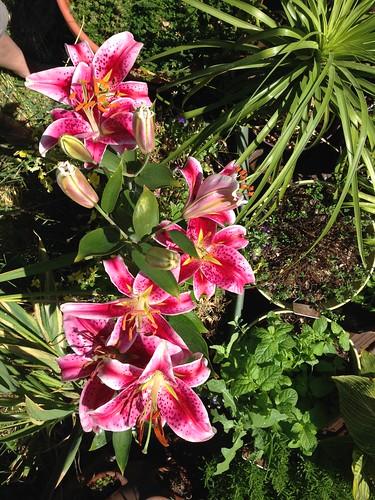 stargazers in full bloom