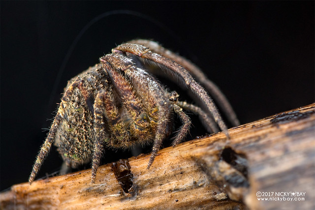 Tree-stump orb weaver (Poltys sp.) - DSC_7542
