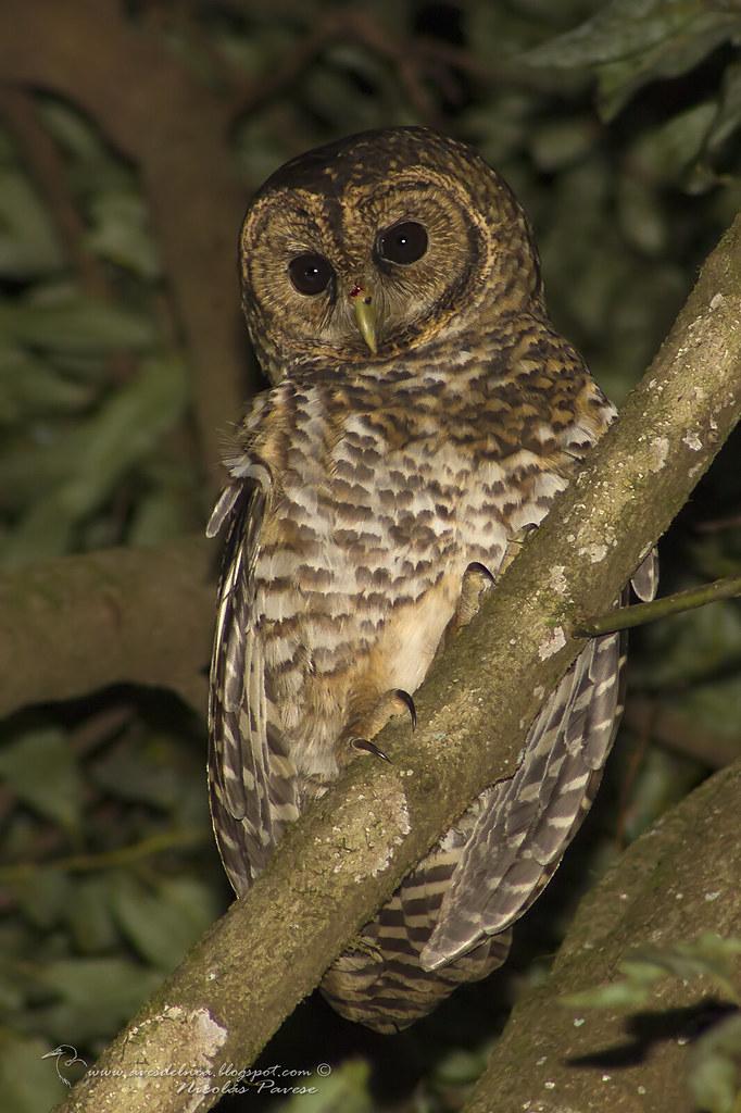Lechuza Listada  (Rusty-barred Owl)  Strix hylophila (Temminck, 1825)
