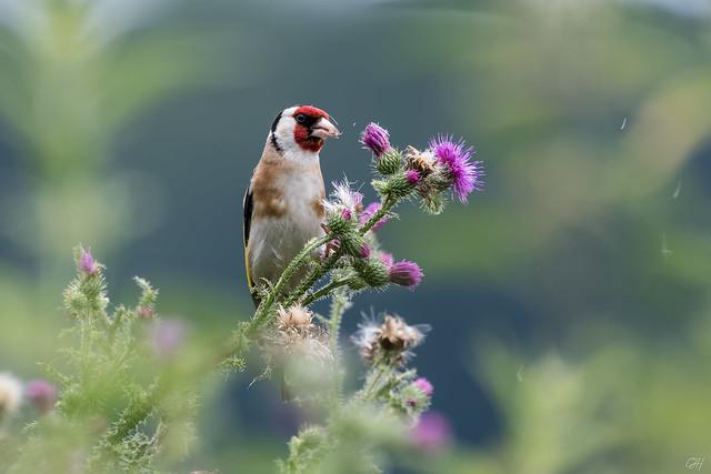 Goldfinch     Stieglitz