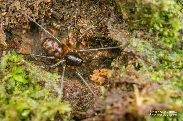 Ground spider (Mallinella sp.) - DSC_7123