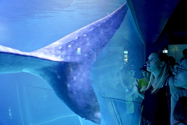 Walhaiflosse
