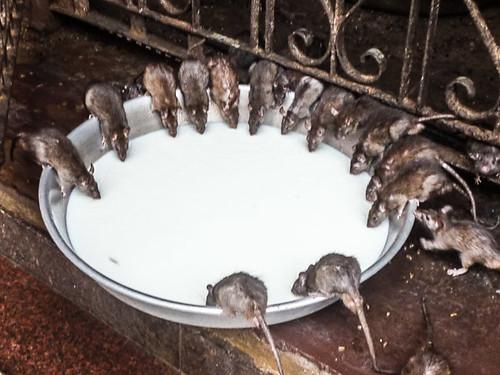Rats drink milk