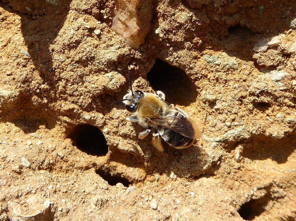 Female long-horned bee by nest