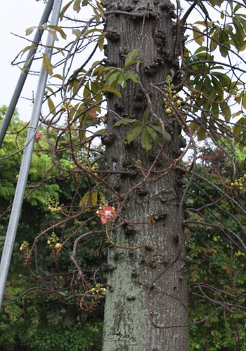 cannonball_tree