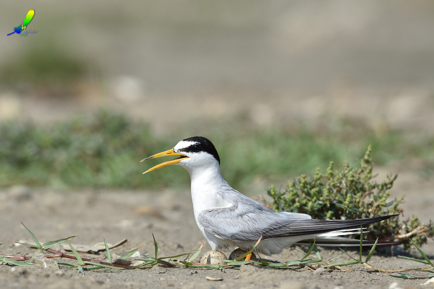 Little_Tern_9578