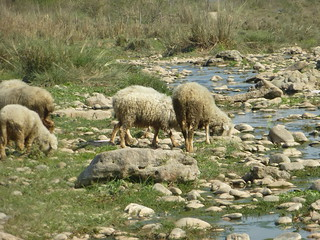 A flock of sheep drink from the Sirsa.