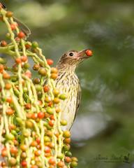 Figbird feeding