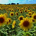 die Sonnenblumenwelt auf dem Sonnenblumenfeld! by baerchen57