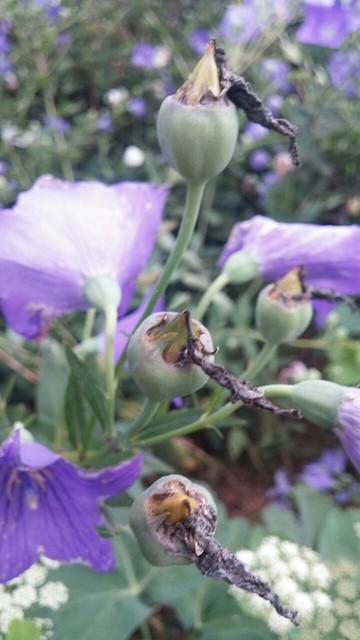 아침풍경 | 도라지 씨앗꽃
