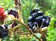 Blackberry eaters
