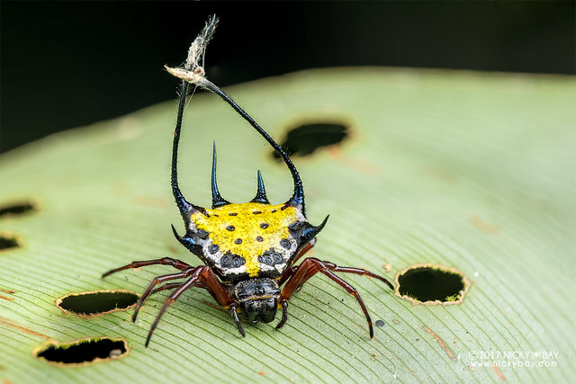 Spiny orb weaver (Gasteracantha sp.) - DSC_7472