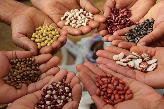 As sementes crioulas carregam informações sobre cada clima, solo e manejo específico - Créditos: Divulgação/MPA