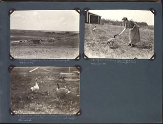 Buffalo (top left), feeding wild geese (top right) and family of geese (bottom left) in Wainwright Park / Bisons (en haut à gauche), alimentation des oies sauvages (en haut à droite) et une famille d'oies (en bas à gauche) dans le parc Wainwright