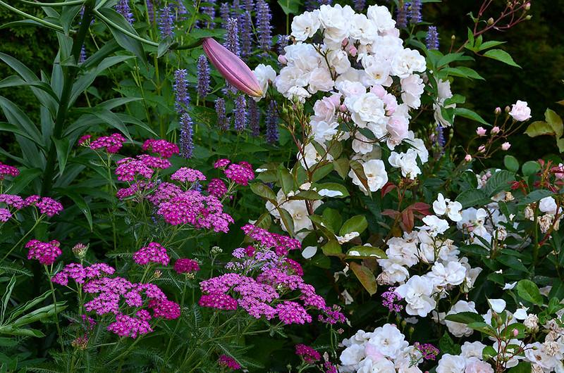 Yarrow, lilies, agastache, Rose 'Marie Pavie'