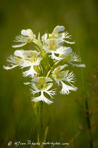 manitobatallgrassprairiepreserve orchids plantsandflowers westernprairiefringedorchid