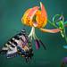 Turk's Cap Swallowtail by tylerareber