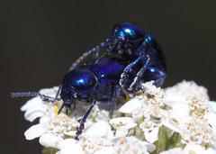 Leaf beetle have fun on yarrow