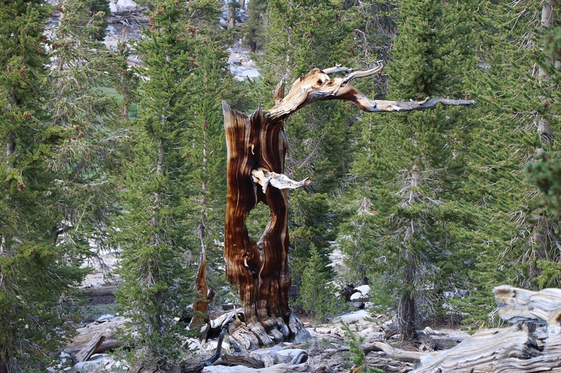 Funny-looking stump on the Pacific Crest Trail north of Trail Peak