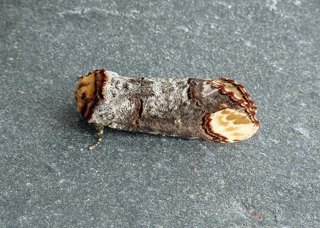 71.025 Buff-tip - Phalera bucephala