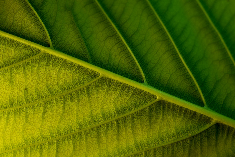 Yellow & Green Leaf