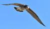Juvenile Pacific Gull - in flight
