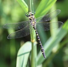 golden ringed dragonfly Gwasneidr eurdorchog