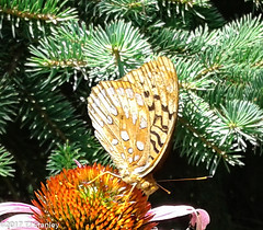 Great Spangled Fritillary Butterfly 20170702_140047-2.jpg