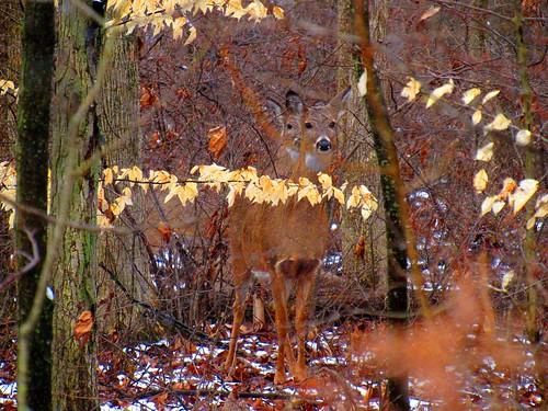 Deer hiding in the woods. Photographer Joann Kraft