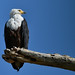 African Fish Eagle (Helen Pinchin)