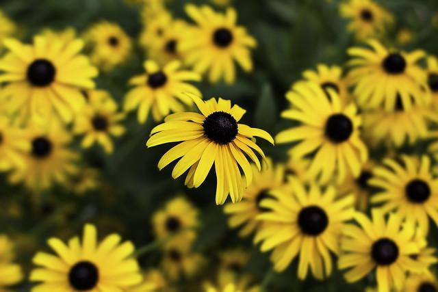 Sunflower, Canon EOS REBEL T2I, Canon EF 28mm f/1.8 USM
