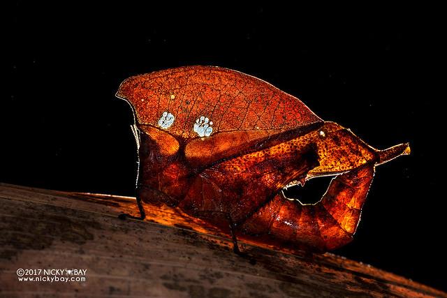 Dead leaf grasshopper (Caelifera) - DSC_7648