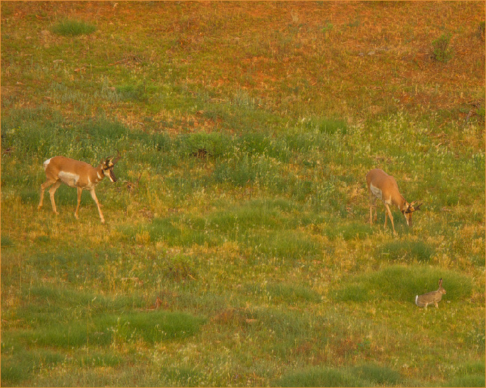 antelope and jackrabbit