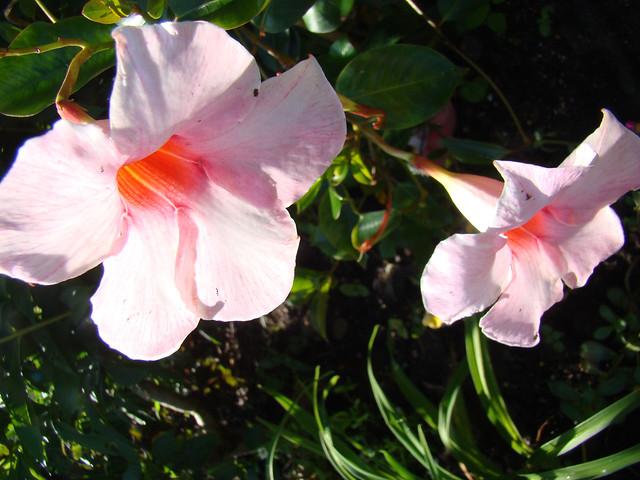 DIPLADENIAS roses., Sony DSC-H9