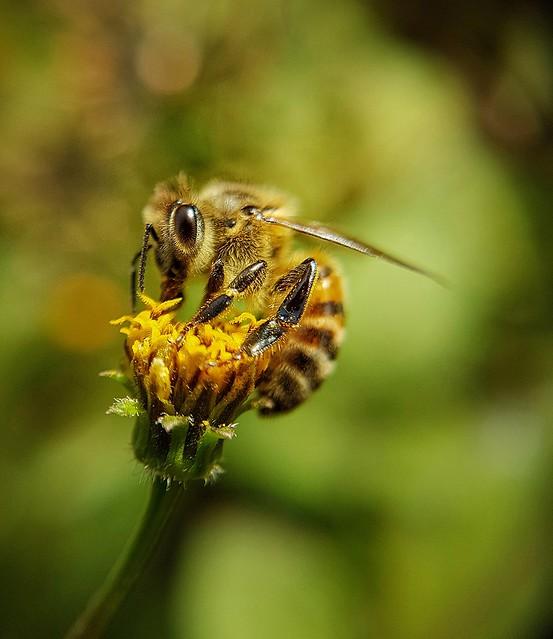 Essa abelhinha apareceu por aqui, sorte que estava com a lente macro no bolso...hehehe
