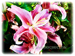 Gorgeous blossoms of Lilium 'Pink Brilliant', 7 Oct 2011