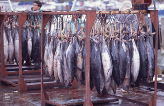 Rack of long-fish tuna newly landed. Hout Bay, Cape Peninsula. 1994