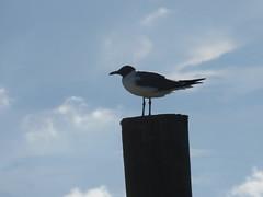 Sea Gull.......