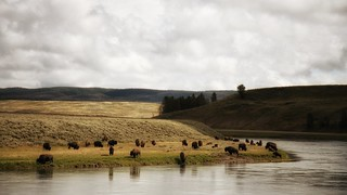 Bison by the waterfront at Yellowstone National Park