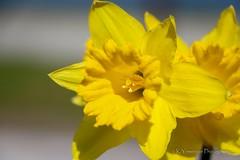 Daffodil Flower!