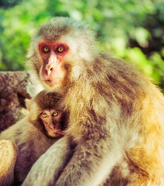 Snow Monkey Family